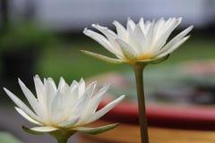Blanc thaïlandais waterlily Photos libres de droits