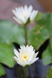 Blanc thaïlandais waterlily Photographie stock libre de droits