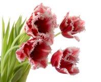 Blanc - tulipes roses Image libre de droits