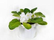 Blanc violet de fleur Fleurs de violette Photo libre de droits