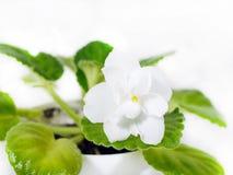 Blanc violet de fleur Fleurs de violette Images libres de droits