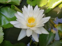 Blanc waterlily en peu de bassin photo libre de droits