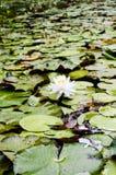 Blanc waterlily entouré par des protections de lis sur le lac Photos libres de droits