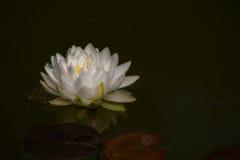 Blanc waterlily ou fleur de lotus dans l'étang Photos libres de droits