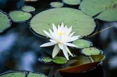 Blanc waterlily sur un lac Photo libre de droits
