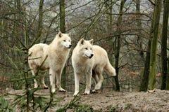 Blanc Wolfs dans une forêt image libre de droits