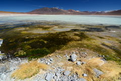 BLANCA de Laguna Reserva de Eduardo Avaroa Andean Fauna National bolívia Fotos de Stock Royalty Free