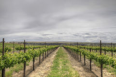 blancdruvasauvignon vingård Royaltyfri Foto