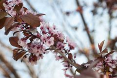 Pink cherry blossoms in spring on a branch with blurred background. Blanch with pink cherry blossoms in spring on a blurred background with copy space royalty free stock photos