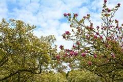 Blancheur et Magnoliaceae rose d'arbres de magnolia photographie stock libre de droits