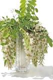Blanching acacia Stock Images