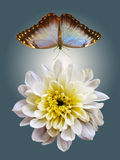 Blanching chrysanthemum and blue butterfly in flight. On gray shining background stock photography