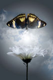 Blanching chrysanthemum and darkenning butterfly. On background sky and -a symbol of the beauty since age royalty free stock images