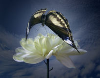 Blanching chrysanthemum and darkenning butterfly. On background sky and -a symbol of the beauty since age royalty free stock photo