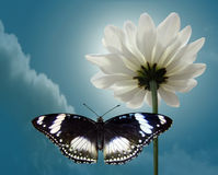 Blanching chrysanthemum and Moon butterfly on background sky. Blanching chrysanthemum and Moon butterfly with black wing on background sky royalty free stock image
