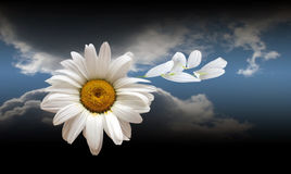 Blanching daisywheel with petal. On background sky royalty free stock photos