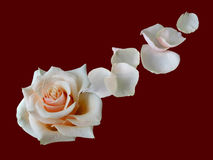 Blanching rose with flying petal. BlaBlanching rose with flying petal on crimson background stock photography