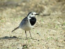 Blanching wagtail Royalty Free Stock Photography