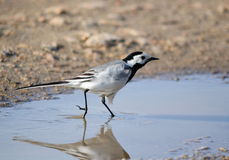 Blanching wagtail Stock Images