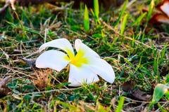 Blanco aislado flor blanca del frangipani Foto de archivo