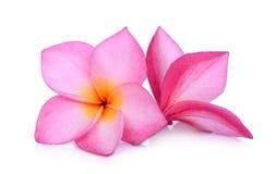 Blanco aislado flor rosada del frangipani imágenes de archivo libres de regalías