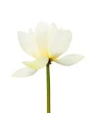 Blanco aislado floreciente del loto blanco fotografía de archivo libre de regalías