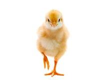 Blanco aislado pollo del bebé Foto de archivo libre de regalías