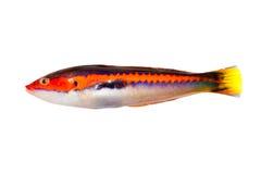Blanco aislado Wrasse del arco iris de los pescados de los julis de Coris Foto de archivo