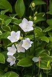 Blanco Alba de Carpatica de las campánulas, como fondo fotografía de archivo