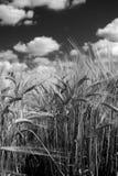 Blanco alto del negro del detalle de la planta cultivada de la cebada fotos de archivo libres de regalías