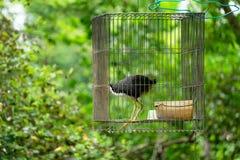 Blanco-breasted waterhen en la jaula, selva del pájaro Foto de archivo