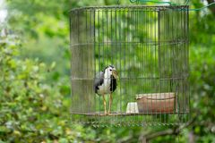 Blanco-breasted waterhen en la jaula, selva del pájaro Imagenes de archivo