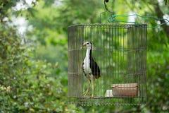 Blanco-breasted waterhen en la jaula, selva del pájaro Imagen de archivo