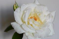 Blanco como la nieve subió fotografía de archivo