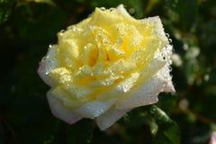 Blanco con cierre amarillo claro de la rosa para arriba en una rosaleda Fotos de archivo libres de regalías