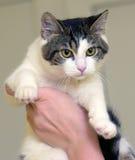 Blanco con el gato de pelo corto marrón Imagen de archivo libre de regalías