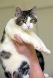 Blanco con el gato de pelo corto marrón Foto de archivo libre de regalías