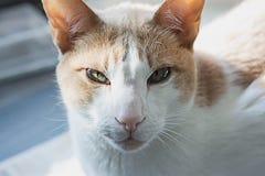 Blanco con el gato rojo Mejor foto real del gato Imágenes de archivo libres de regalías