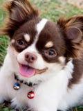 Blanco con el perro de la chihuahua del chocolate Imágenes de archivo libres de regalías