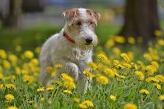 Blanco con el terrier rojo del airedale entre amarillo foto de archivo