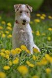 Blanco con el terrier rojo del airedale entre amarillo fotos de archivo