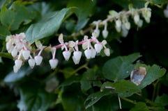Blanco con Salal floreciente rosado - shallon del Gaultheria - planta Imágenes de archivo libres de regalías