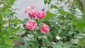 Blanco de color salmón de la flor de Tiger Rose Imagen de archivo libre de regalías