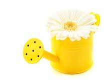 Blanco de Germini en regadera amarilla Fotografía de archivo