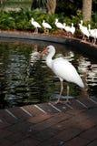 Blanco de Ibis Imagenes de archivo