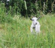 Blanco de la cabra de cuernos Fotografía de archivo libre de regalías