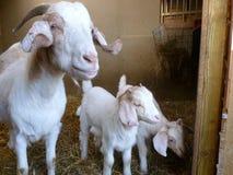 Blanco de la familia de la cabra del Boer Imagen de archivo