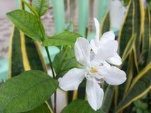 Blanco de la flor Imagen de archivo libre de regalías
