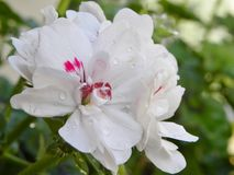 Blanco de la flor Fotografía de archivo libre de regalías