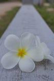 Blanco de la flor del Plumeria Foto de archivo libre de regalías